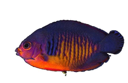 Bild vom Blauschwarzen Streifenherzogfisch