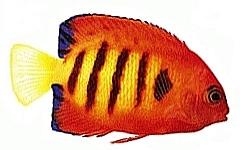 Bild vom Flammen-Herzogfisch