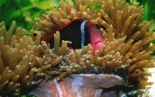 Bild mit Anemonenfisch und seiner Wirsanemone